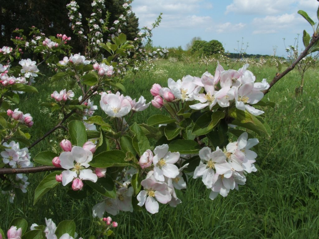 East of England Fruit Collection blossom
