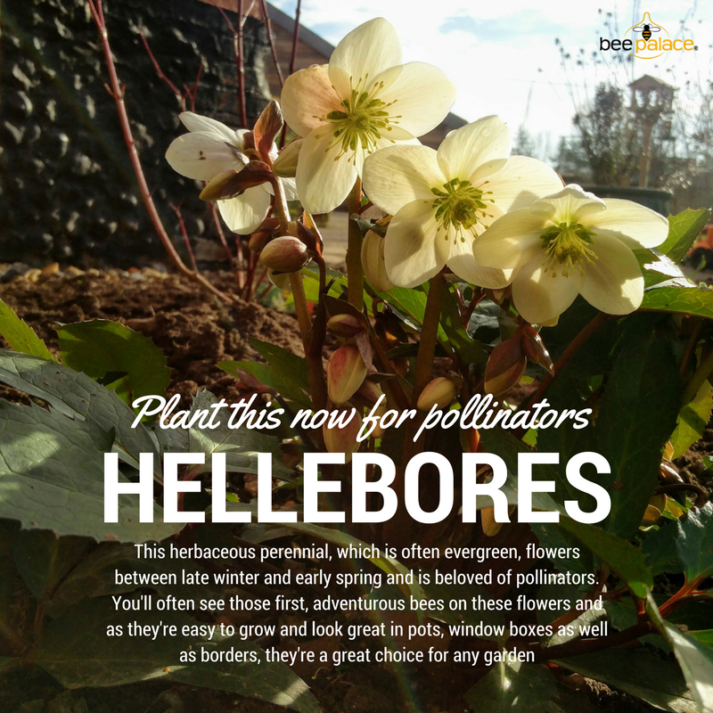 Plant this now for pollinators (1)