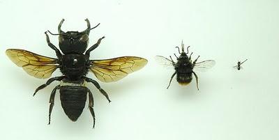 Megachile-Pluto-bigbumblebee-bee