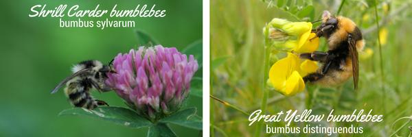 Garden bumblebee (1)