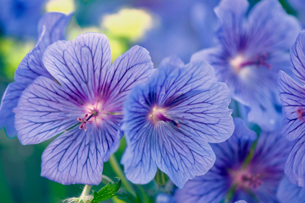Beautiful blue geraniums require pollination in order to make gardens more attractive.