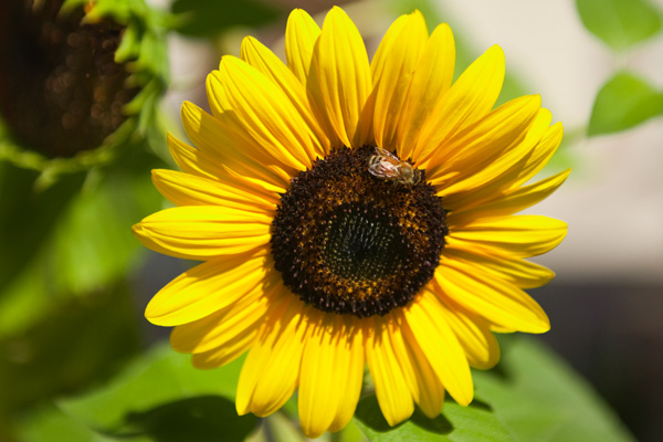 A bee pollinates a bright yellow sunflower.